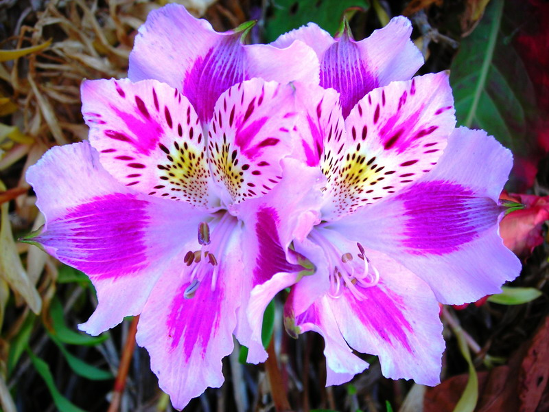 Peruvian Lily Information