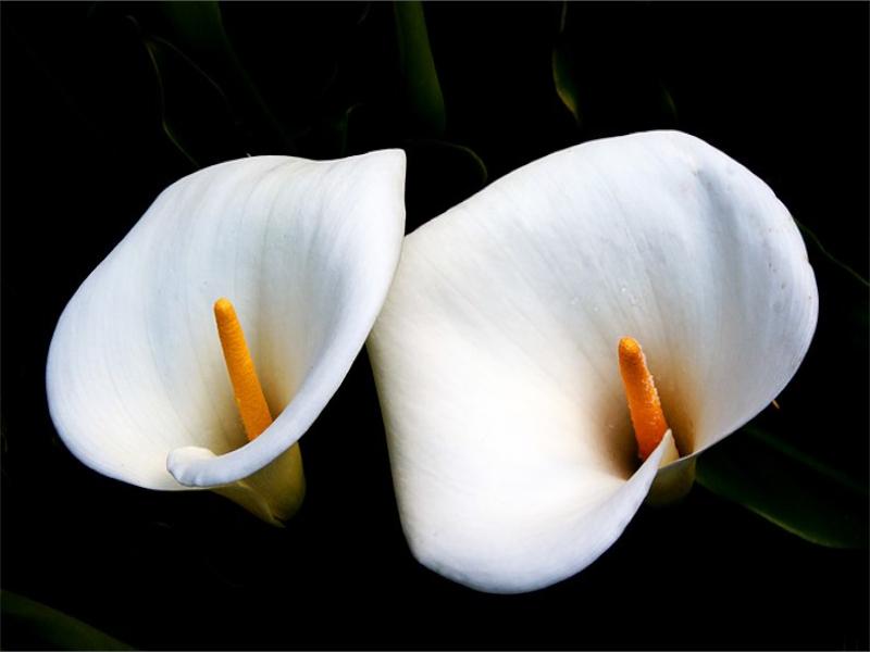Calla Lilies Information