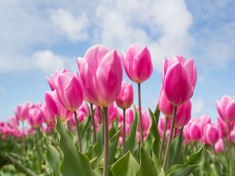 Garden Tulip Information