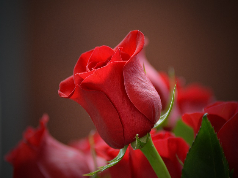 Meaning Of Red Rose