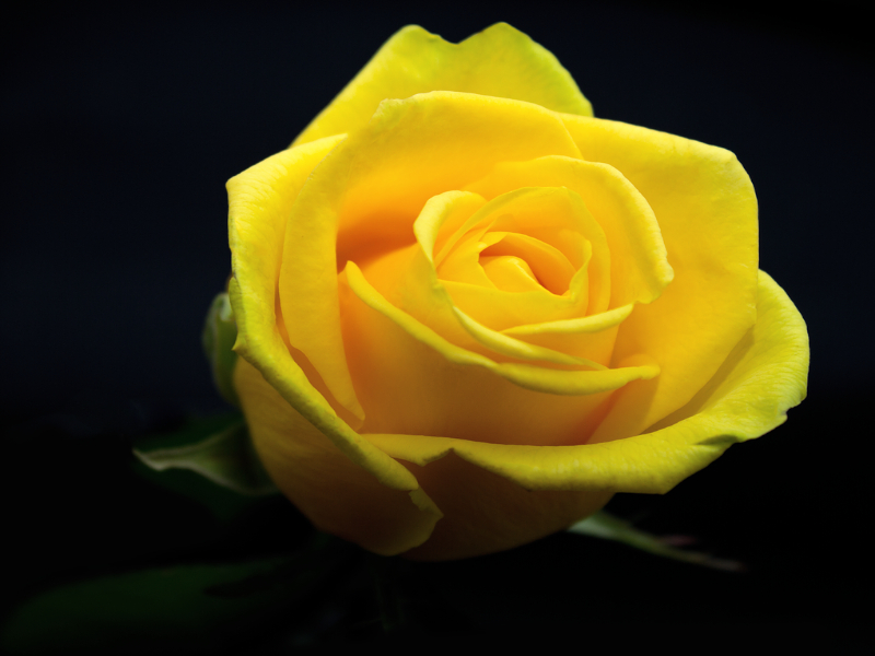 Meaning Of Yellow Rose