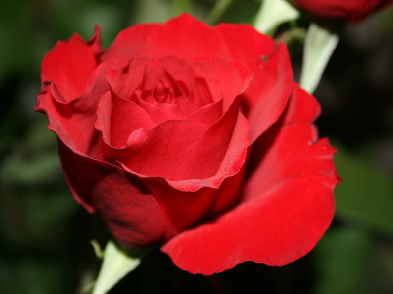Red Rose Information