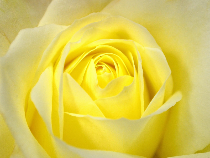 Yellow Rose Information